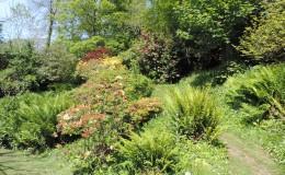 Azaleas in Bog Garden