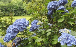 Good blue hydrangea
