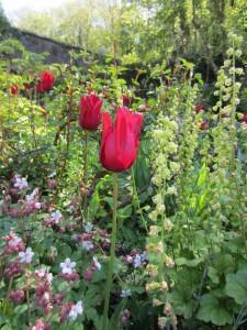 Tulip Red Shine