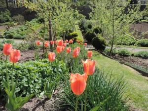 Stunning Apricot Tulips